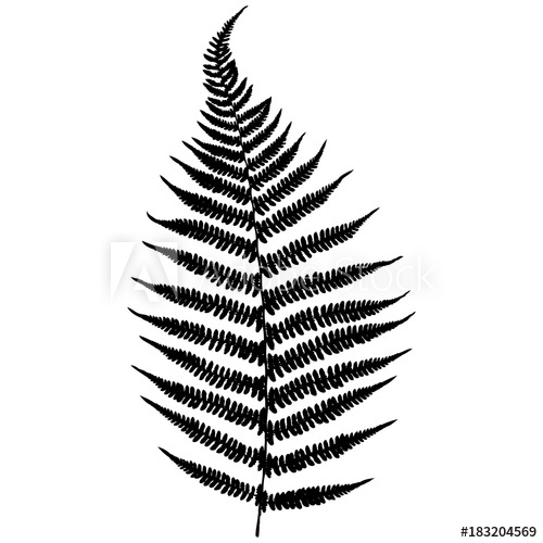 500x500 Forest Fern Black Isolated Silhouette On White Background Vector