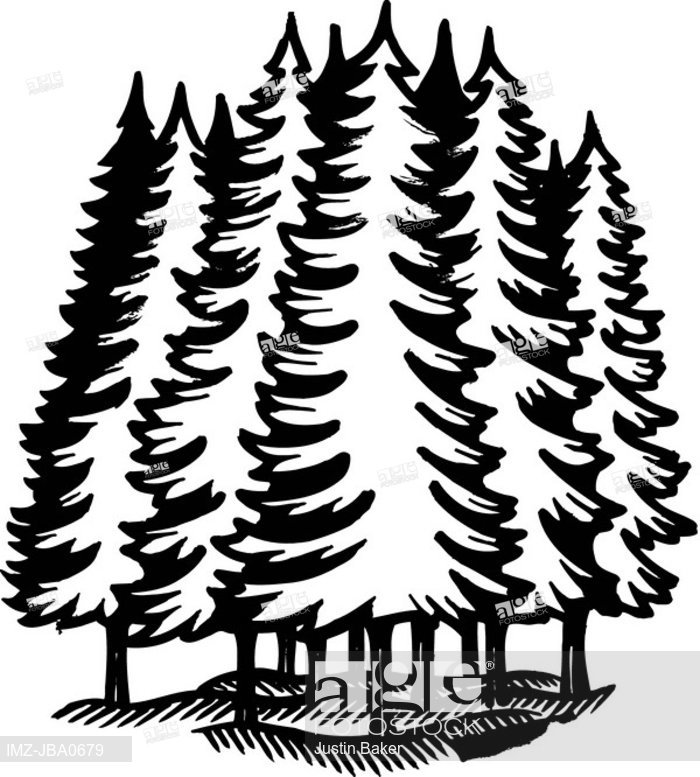 700x777 A Black And White Illustration Of An Coniferous Forest, Stock