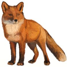 Fox Animal Drawing