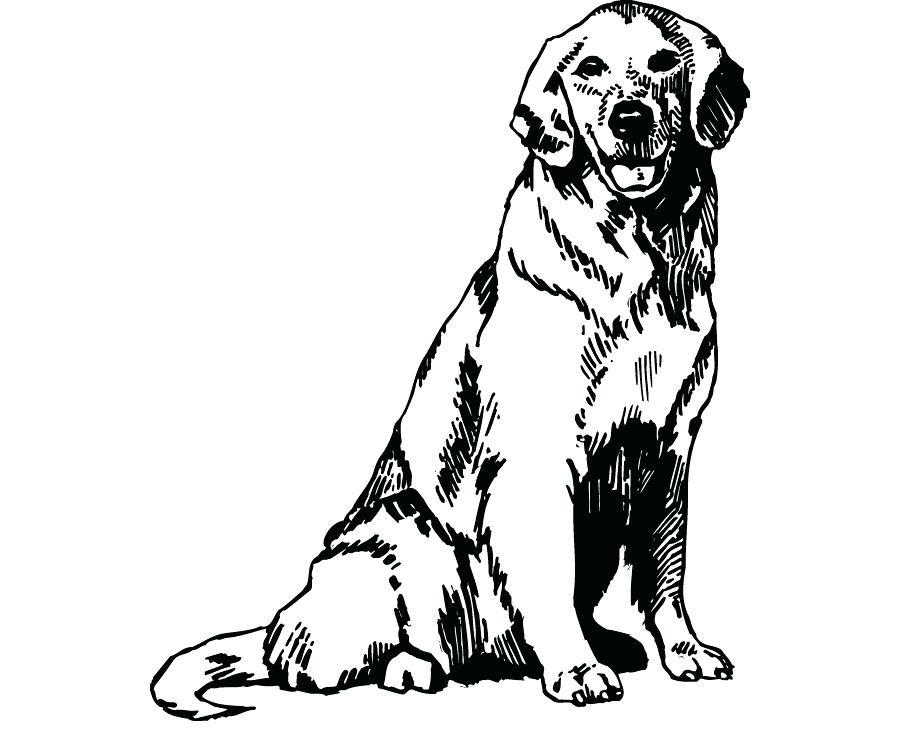 900x740 golden retriever drawings golden retriever dog drawing golden
