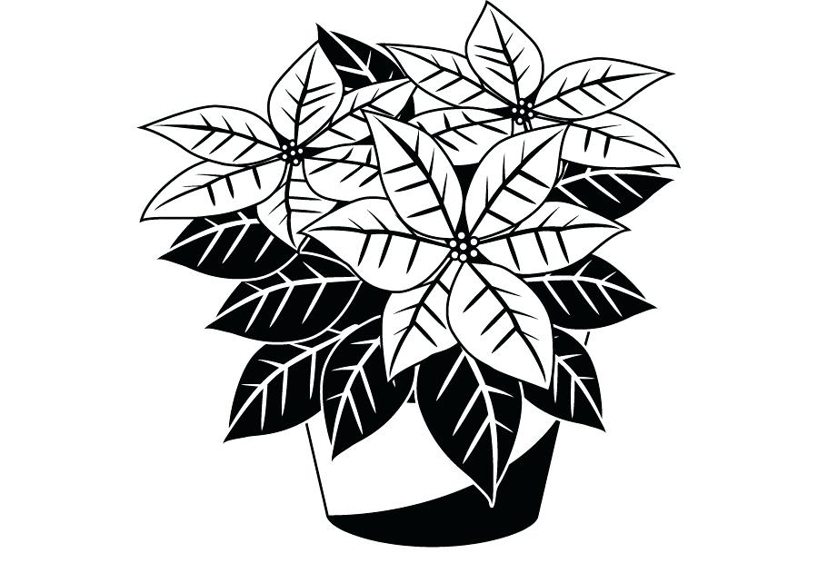 900x620 Coloring Pages For Adults Pdf Online To Print Poinsettia Drawing