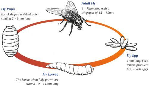 500x290 How Long Do Flies Live Lifespan Of Different Types Of Flies
