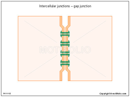 500x375 Intercellular Junctions