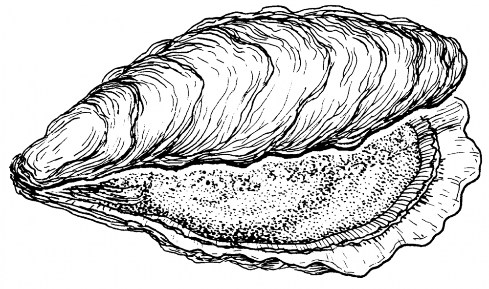 Giant Clam Drawing