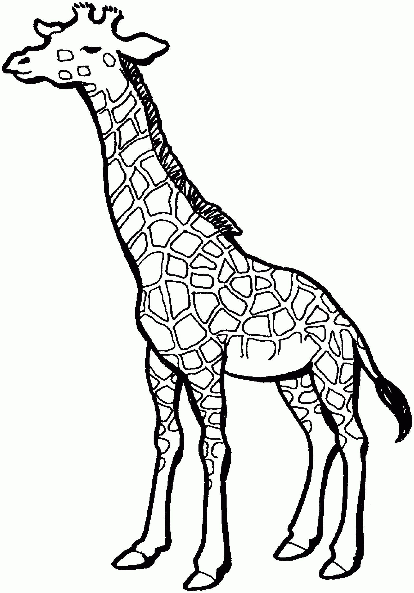 1725x2470 baby giraffe sketch giraffe drawing giraffe giraffe