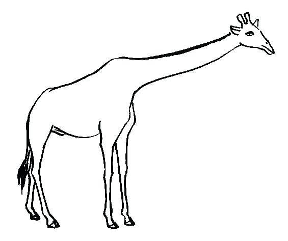 565x473 giraffe drawing images art artist drawing giraffe art giraffe