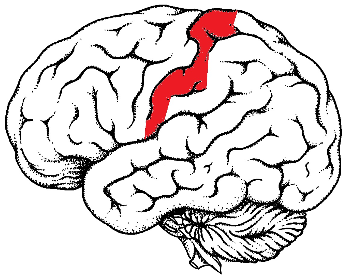 1148x911 Brain Drawing Easy Images Girl Face Tree Scenery Diagram Ideas