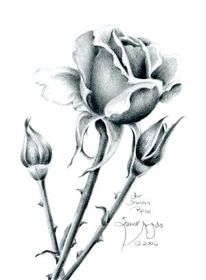 300x407 Drawing Of A Rose Flower Blue Single Flower Drawing Rose Flower