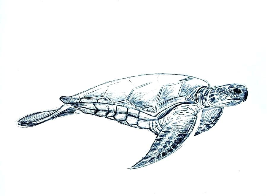 900x663 Drawings Of A Turtle Green Sea Turtle