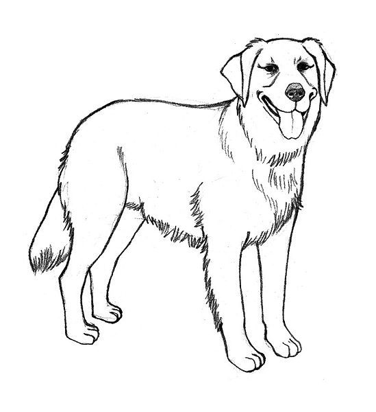 549x600 Golden Retriever Coloring Pages Labrador Puppies Colouring