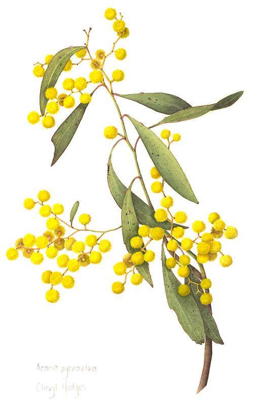 499x800 Acacia Pycnantha