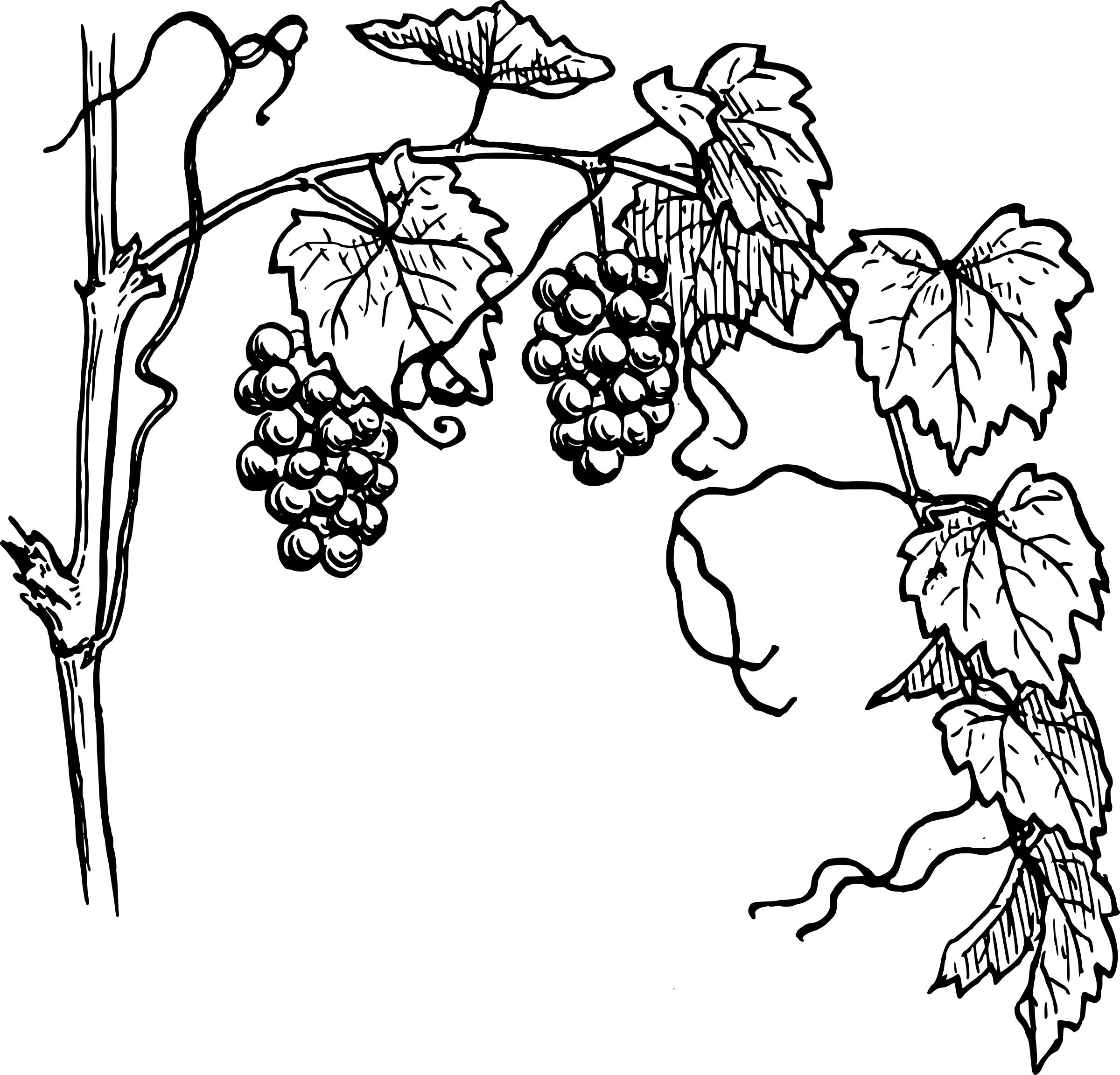 Grape Vine Drawing