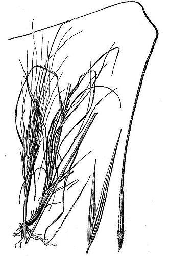 333x500 drawing kansas native plants drawings, artwork, plants