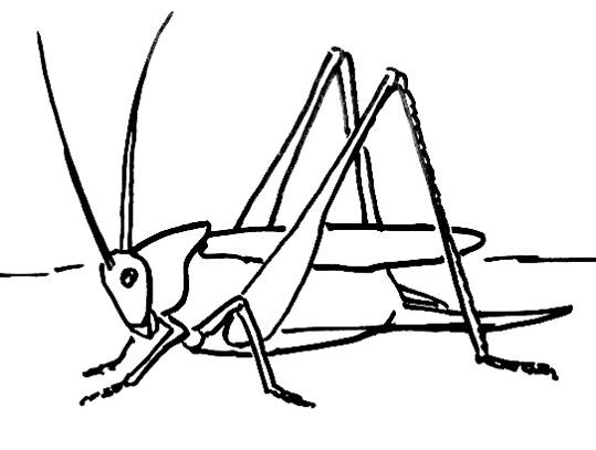 539x407 How To Draw A Grasshopper