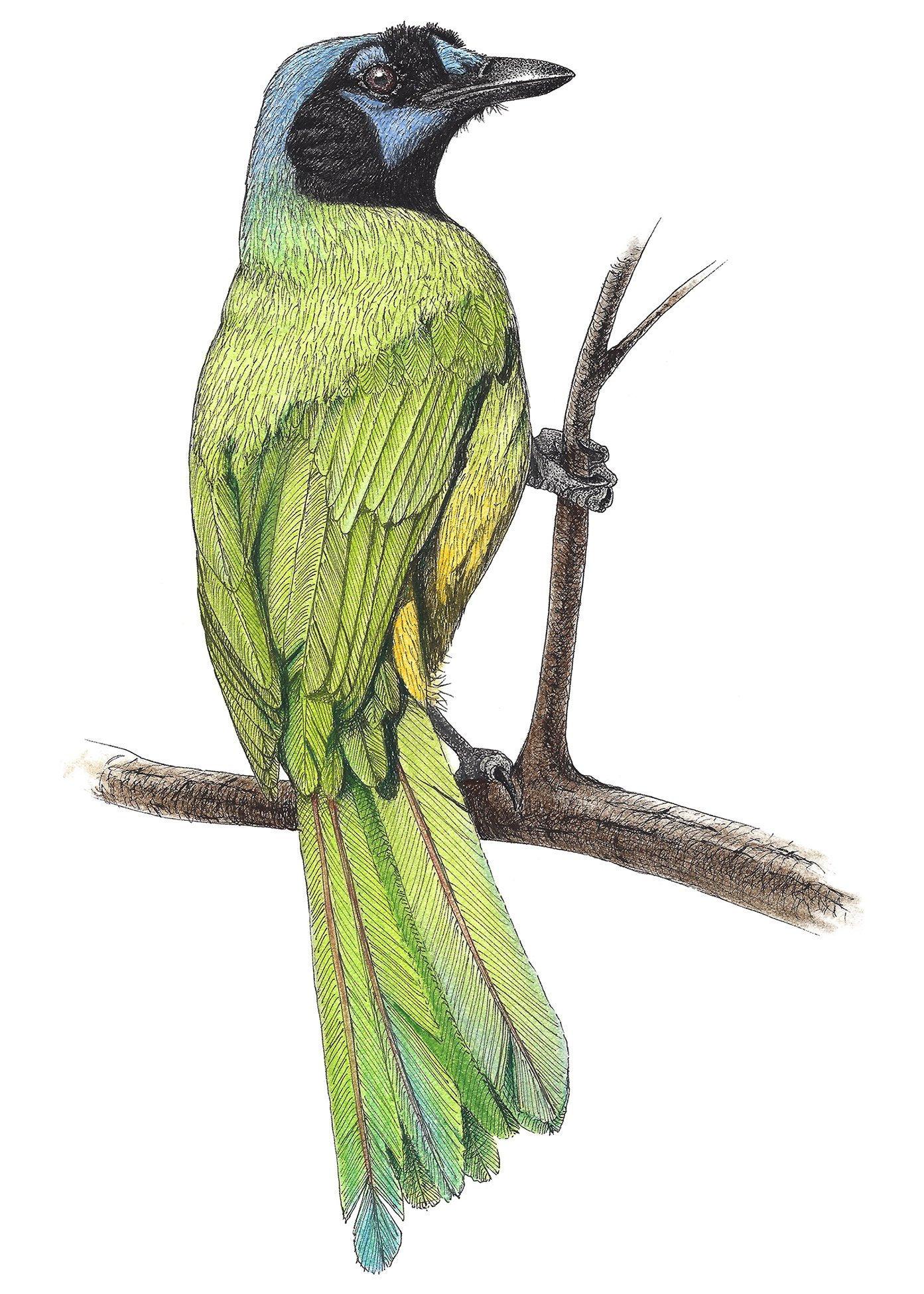 1393x1950 bird painting green jay wildlife art wildlife illustration etsy