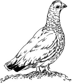 Grouse Drawing | Free download best Grouse Drawing on ...