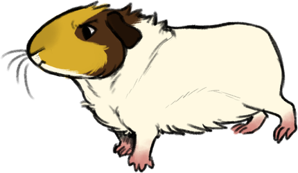 430x250 guinea pig drawings on guinea pig affection