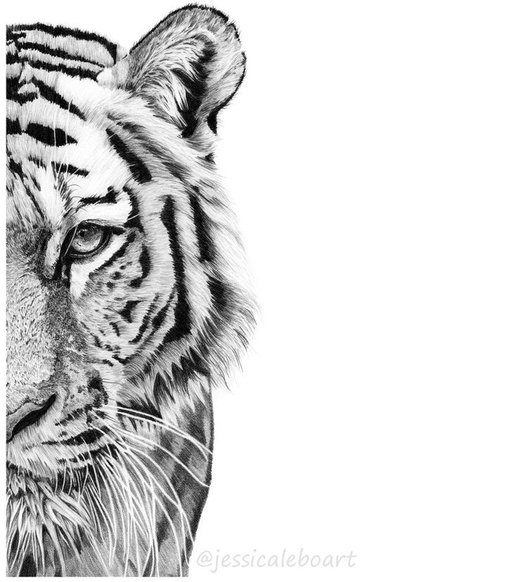 736x827 graphite drawings tiger tiger drawing, tiger face drawing