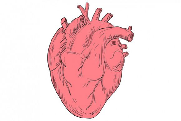 580x387 Human Heart Anatomy Drawing