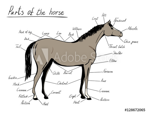 500x385 Parts Of Horse Equine Anatomy Equestrian Scheme With Text Hand
