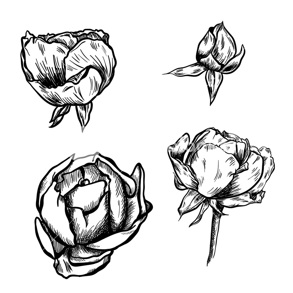 1000x1000 Great Collection Of Highly Detailed Hand Drawn Roses Isolated