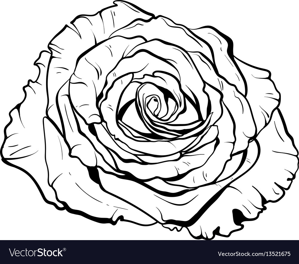 1000x884 Huge Collection Of 'rose Hand Drawing' Download More Than