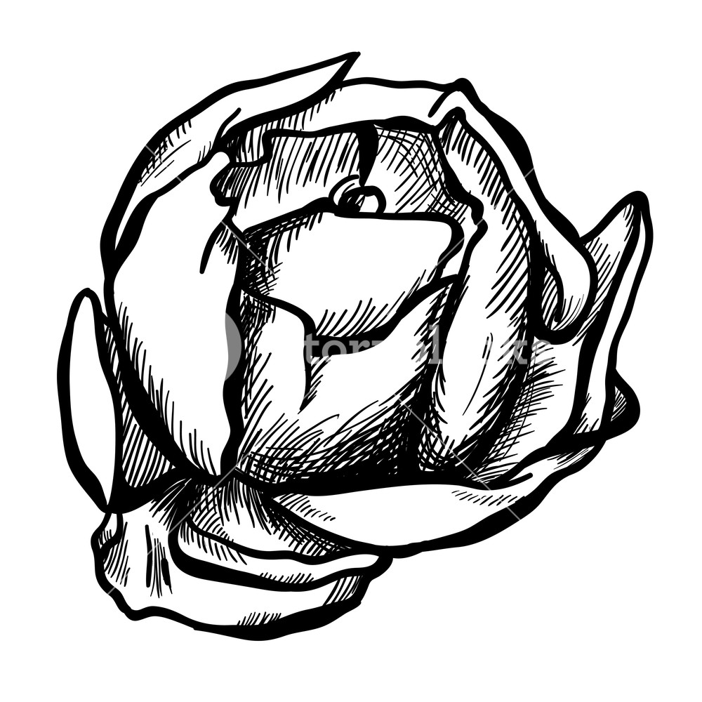 1000x1000 Illustration Of Highly Detailed Hand Drawn Rose Isolated On White