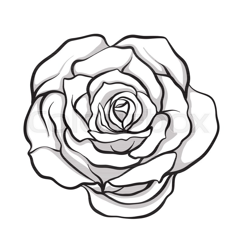 800x800 Rose Flower Isolated Outline Hand Stock Vector Colourbox