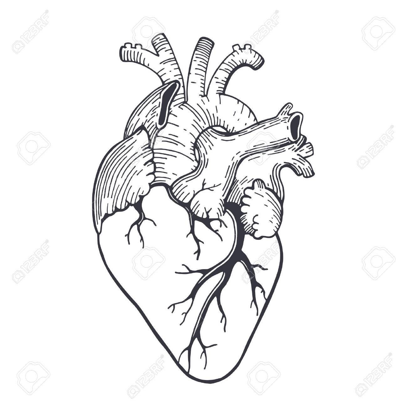 1300x1300 Vector Realistic Anatomical Heart Drawing