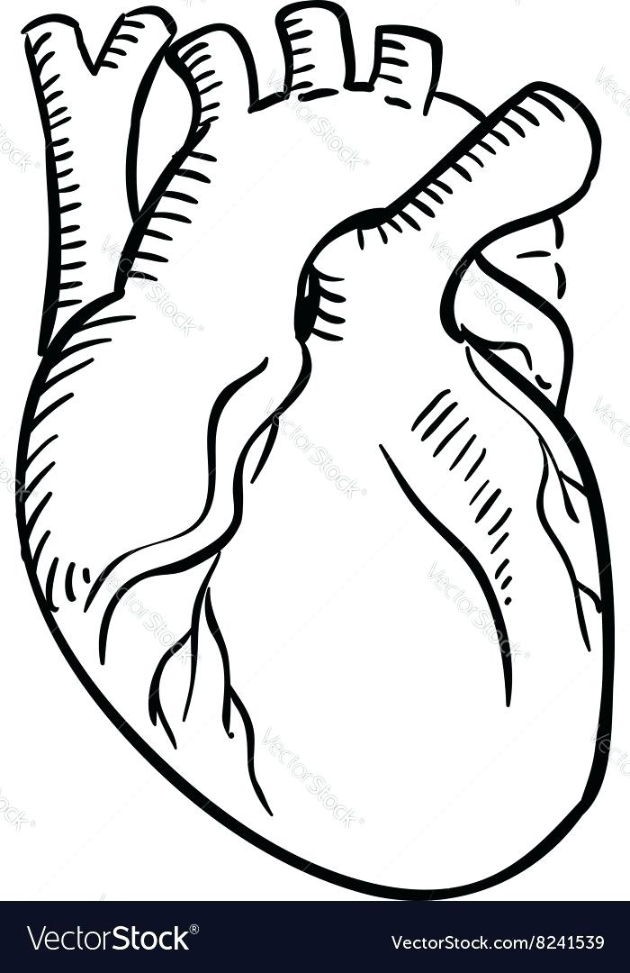 700x1080 anatomical heart outline isolated human heart outline sketch