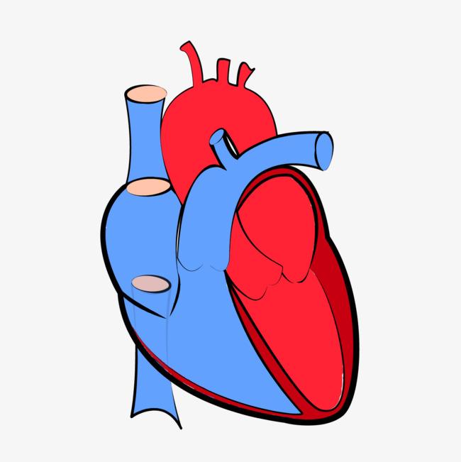 650x651 heart organ, heart vector, organ, heart png and vector for free