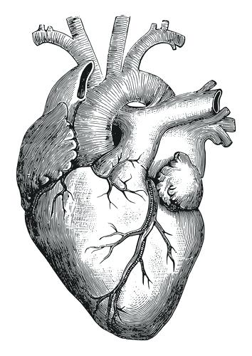 354x500 drawings of the human heart draw and name the human heart