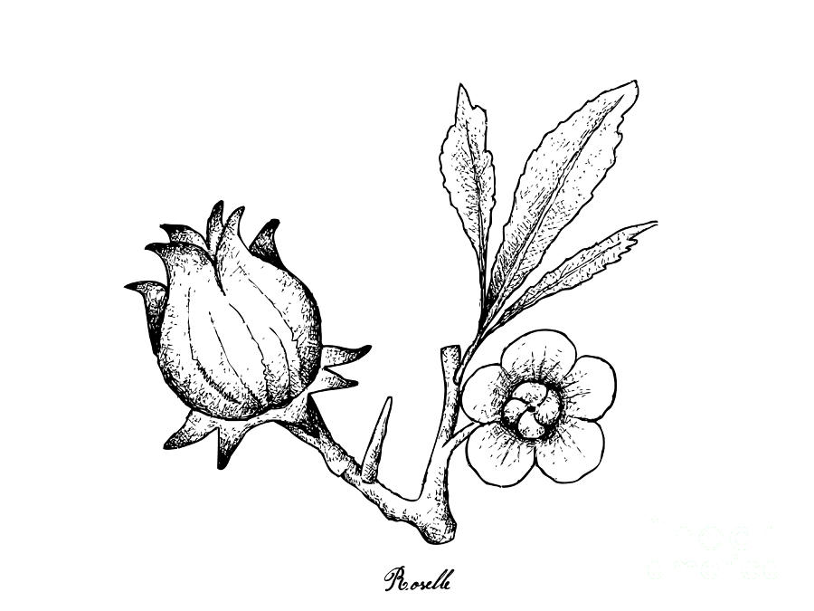 900x675 Hand Drawn Of Hibiscus Sabdariffa Or Roselle Drawing