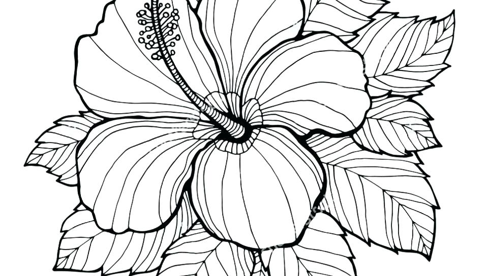 960x544 Drawing Pages Hibiscus Flower For Free Download