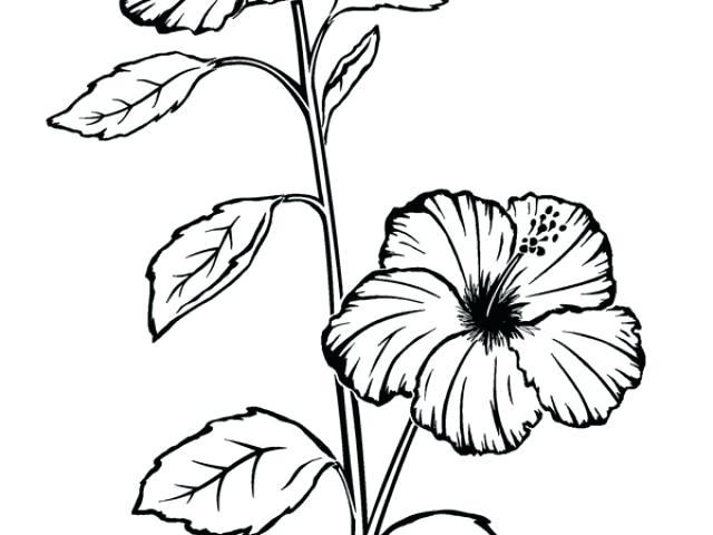 640x480 Hibiscus Sketch