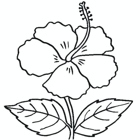 480x480 hibiscus flower outline hibiscus flower coloring pages new