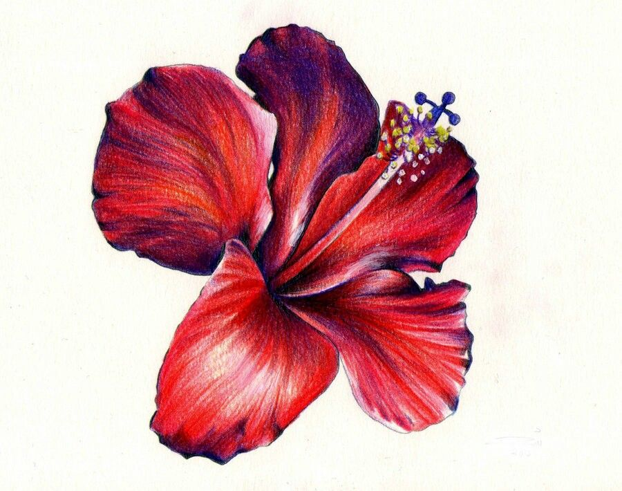 900x710 Wow!!!! Hibiscus Flowers In Color Pencil Art, Hibiscus