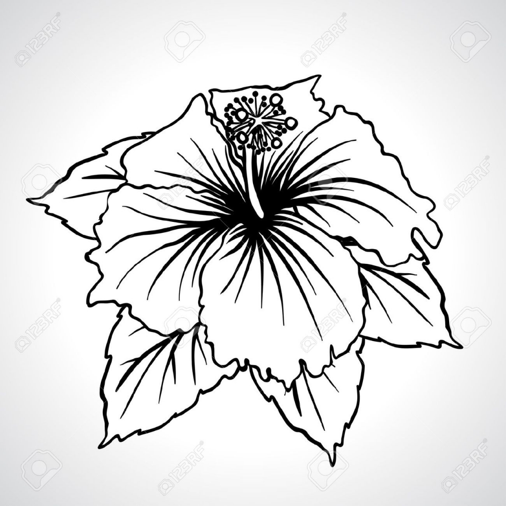 1024x1024 hibiscus flower drawing hibiscus flower isolated stock vector