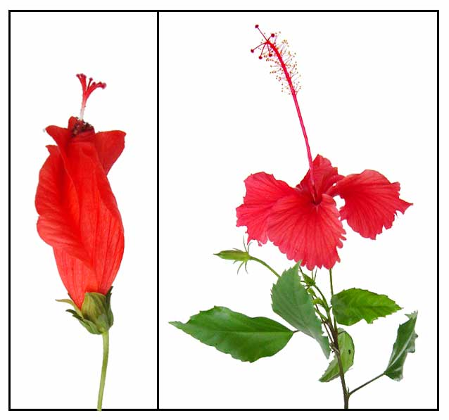 638x597 Gumamela Hibiscus Rosa Sinensis Linn Hibiscus, China Rose