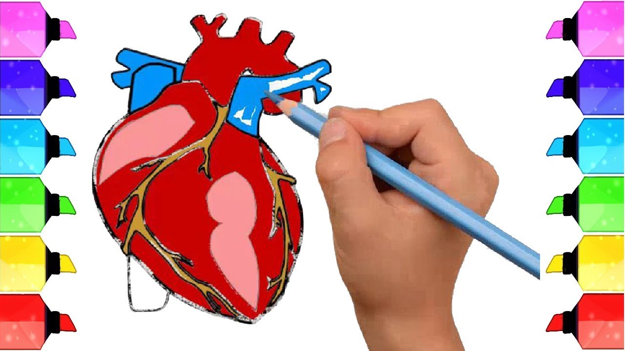 1280x720 How To Draw Human Heart Anatomy Color Drawing For Kids