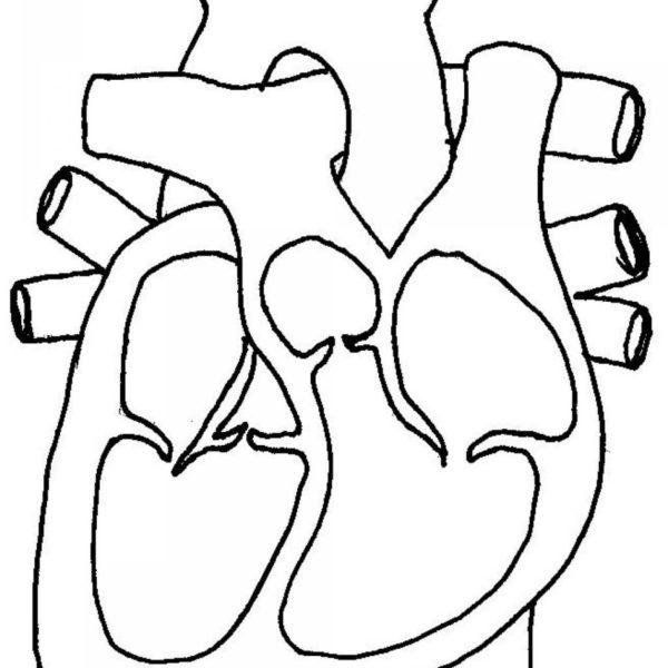 600x600 Human Heart Diagram Cross Section Human Anatomy Diagram Clip