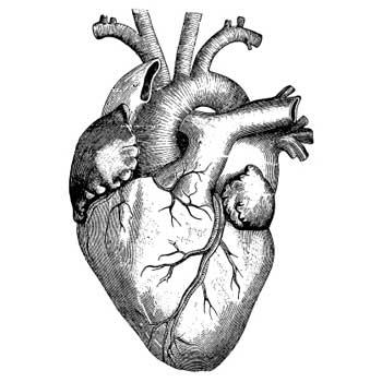 350x350 Human Heart Drawing