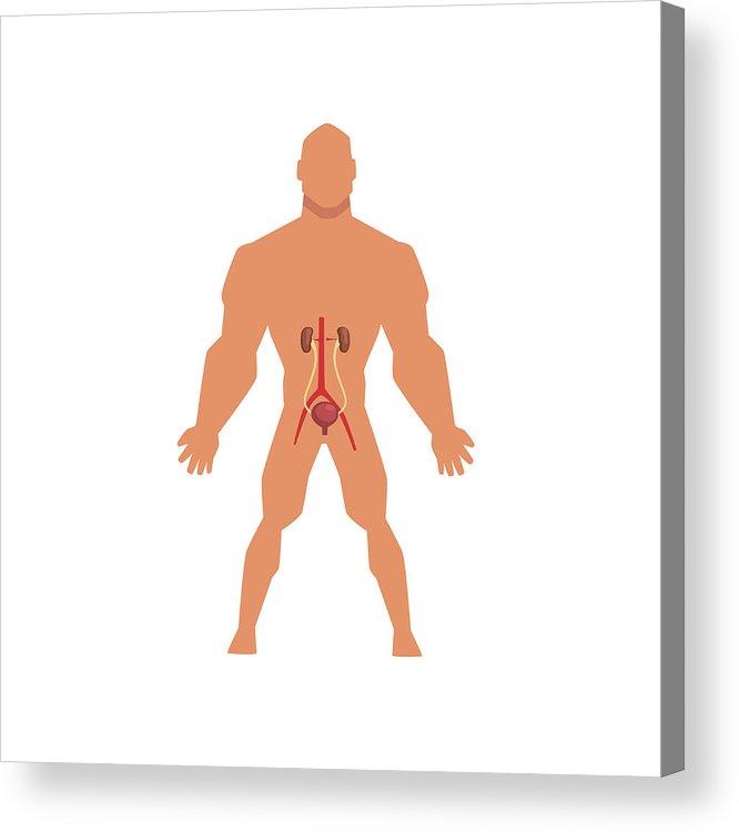666x750 Human Urinary System, Anatomy Of Human Body Vector Illustration