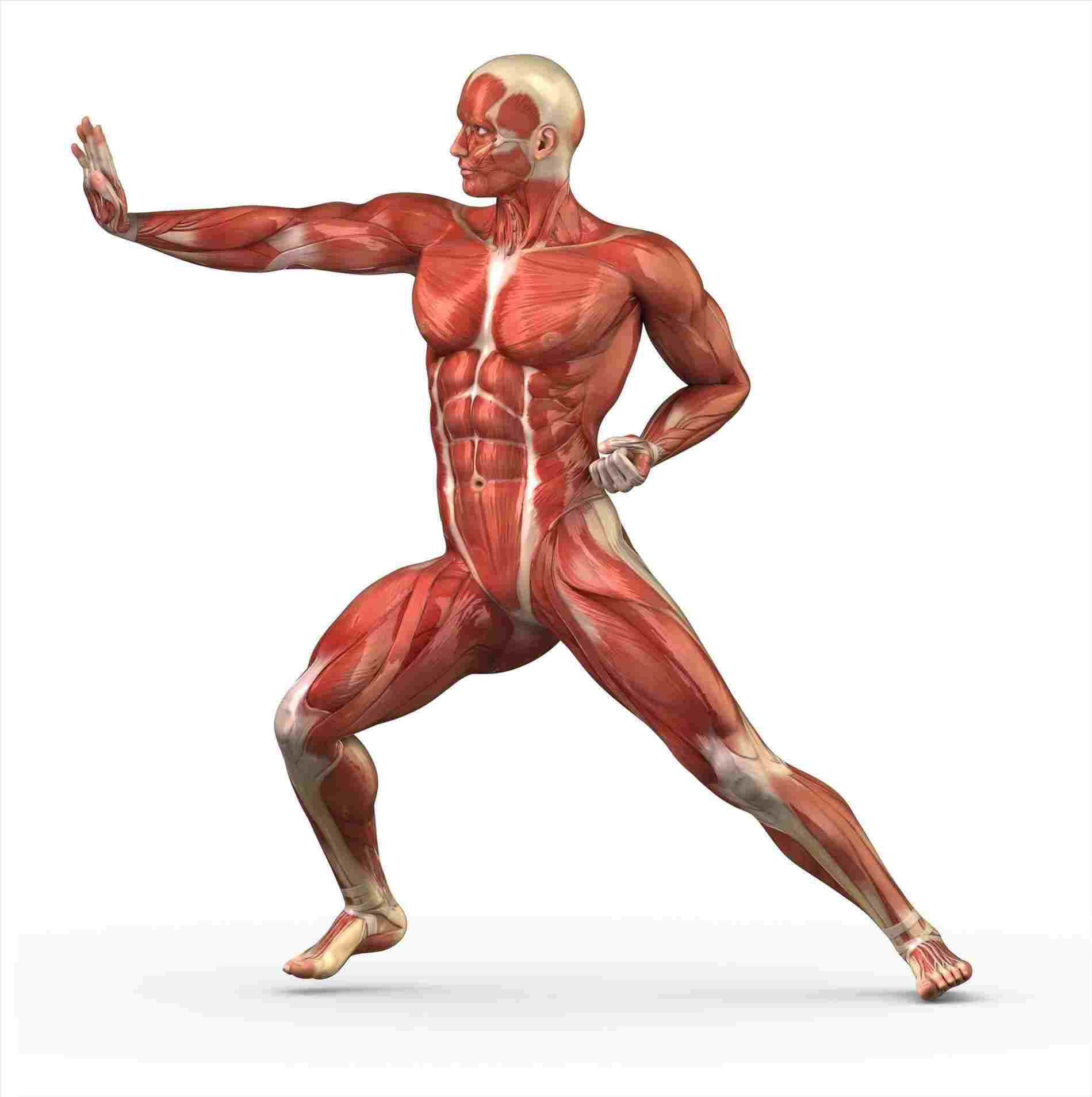 1899x1907 Human Body Muscles Drawing