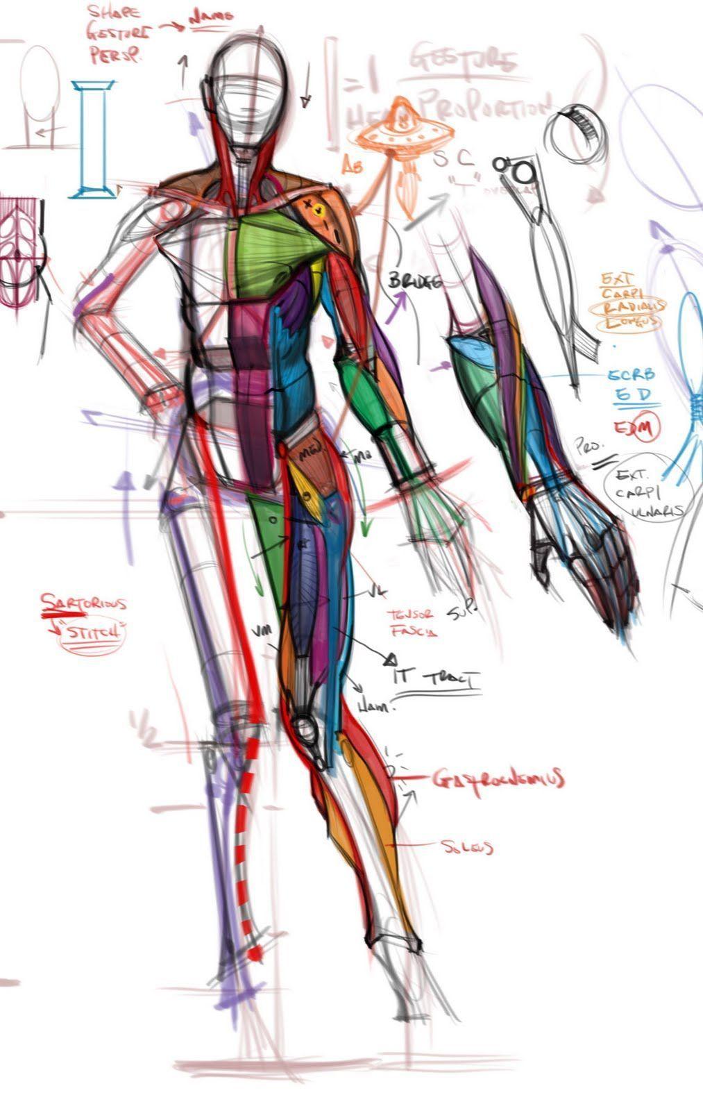 1013x1600 Human Figure Muscles Human Figure Drawing In Anatomy
