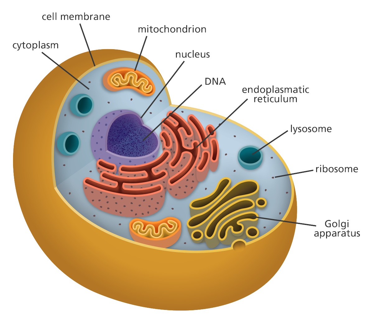 1200x1038 what is a cell d cell animal cell project, human cell