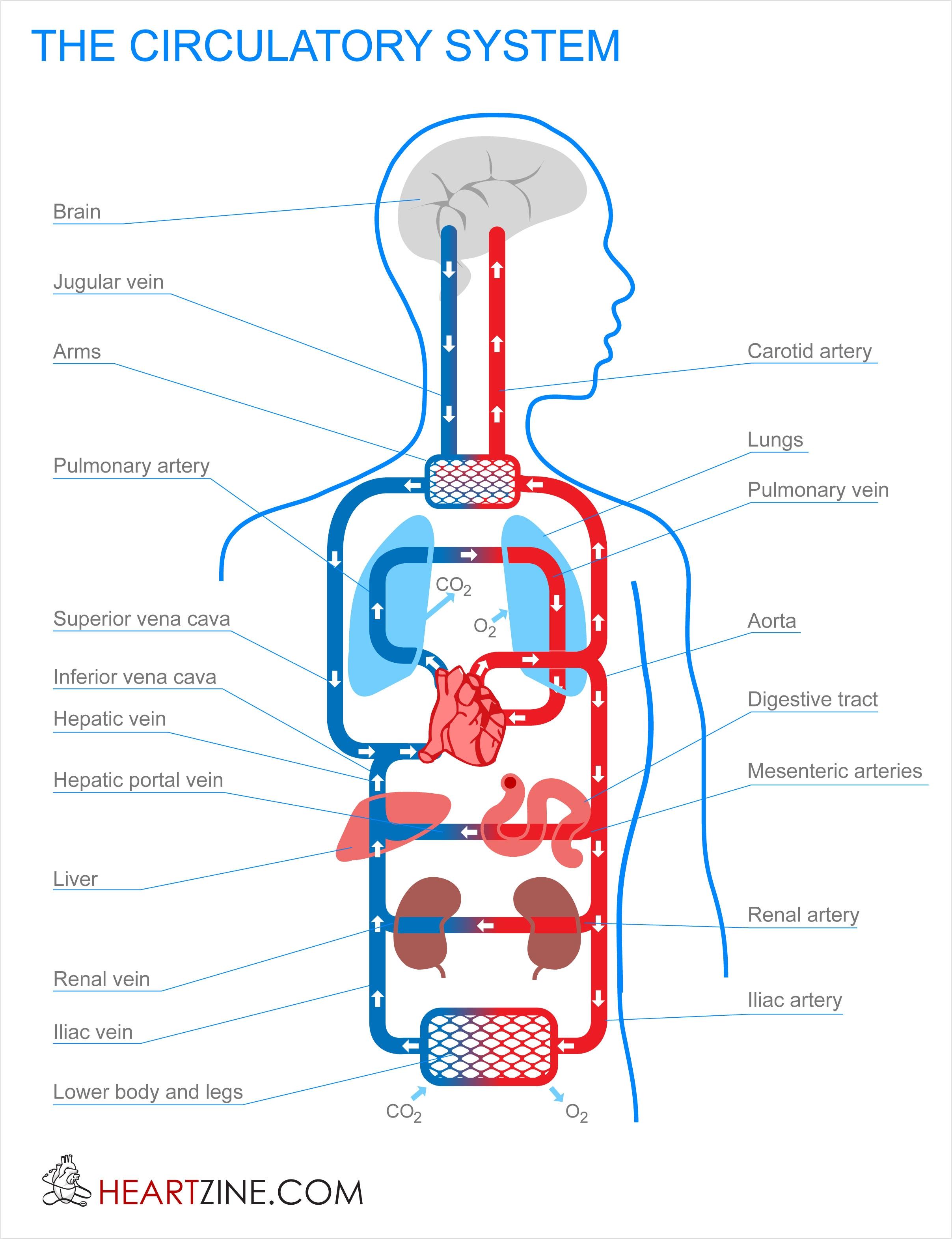 2415x3141 explain human excretory system how to draw human excretory system