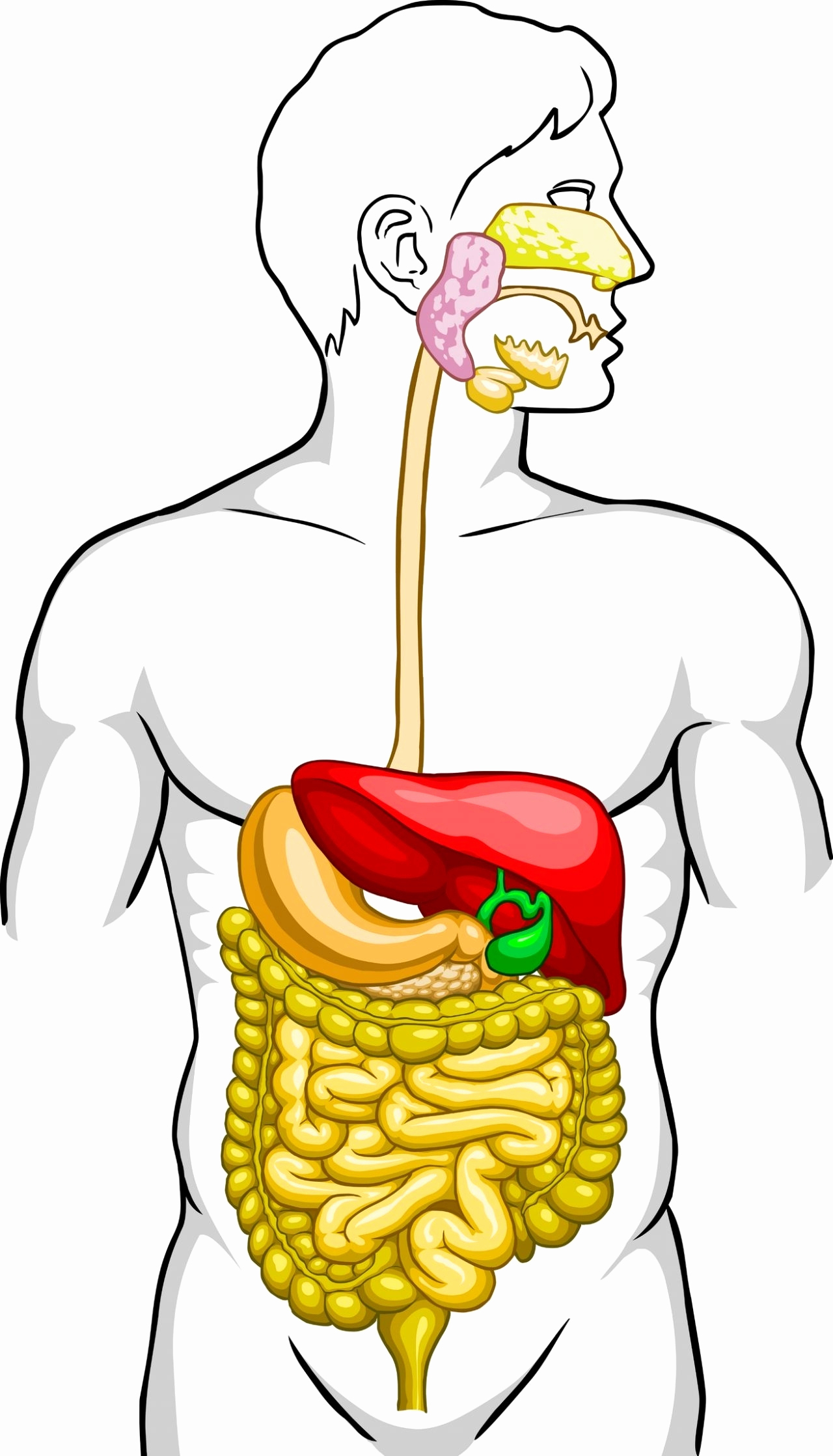 Collection Of Digestive Clipart Free Download Best