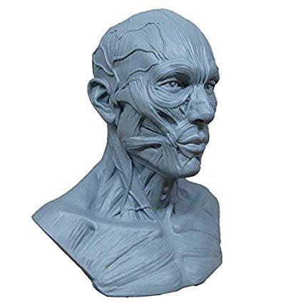 Human Head Anatomy Drawing