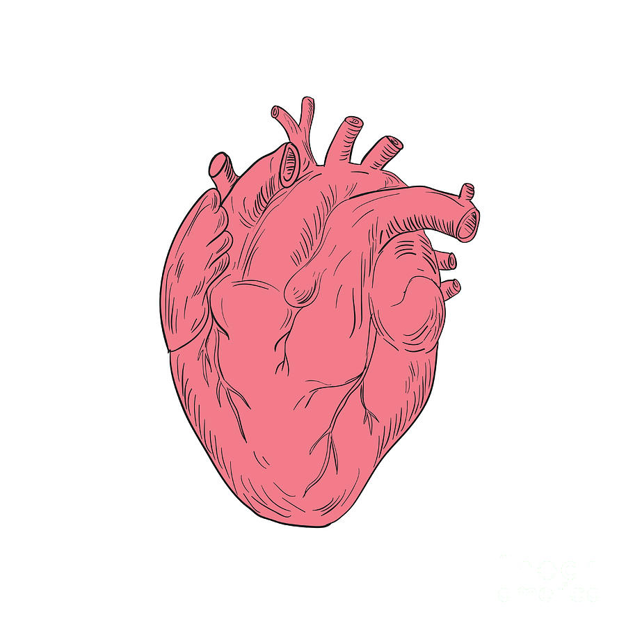 Human Heart Anatomy Drawing   Free download on ClipArtMag